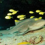Scuba Travel, Zebra shark, Golden travally