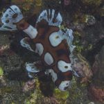Scuba Travel, sweetlips, juvenile sweetlips