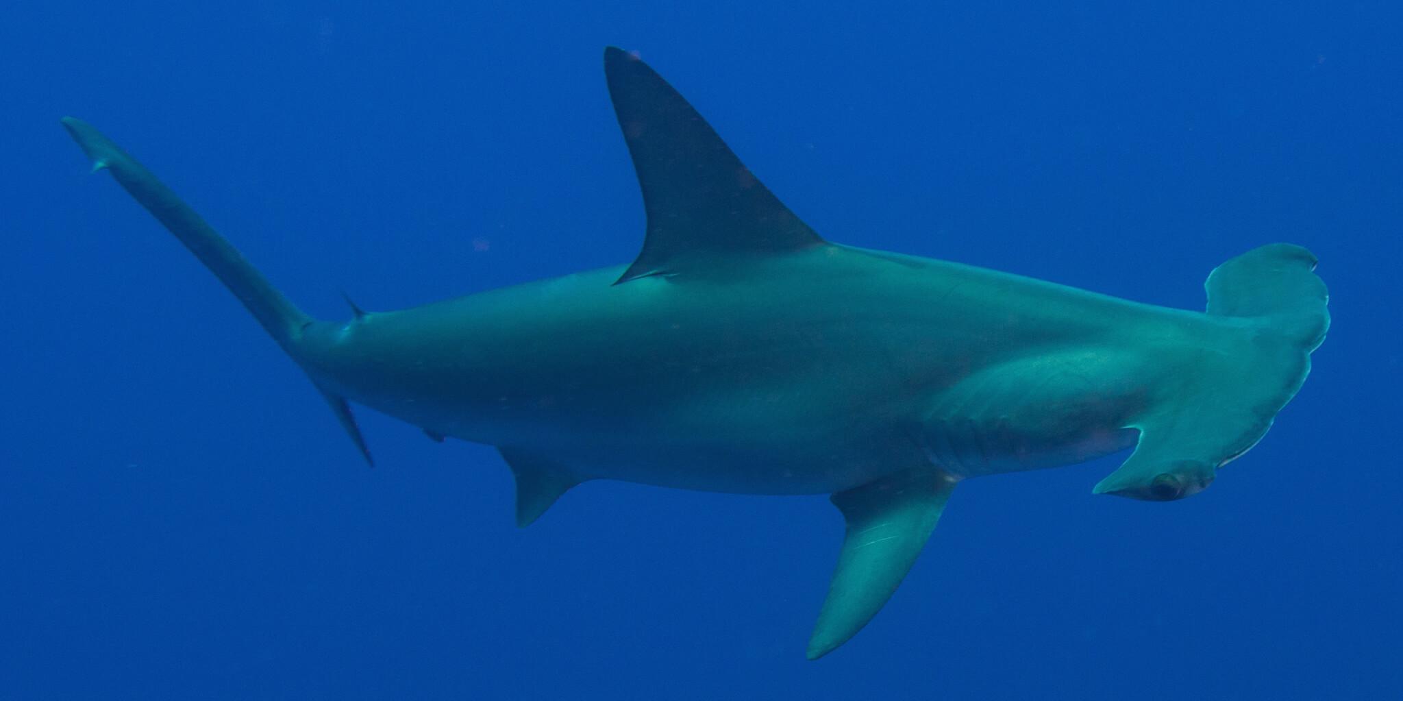 Scuba Travel, Hammerhead, shark