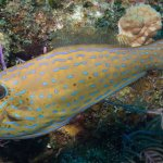 Scuba Travel, Scrawled Filefish