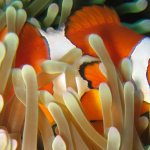 Scuba Travel, clownfish