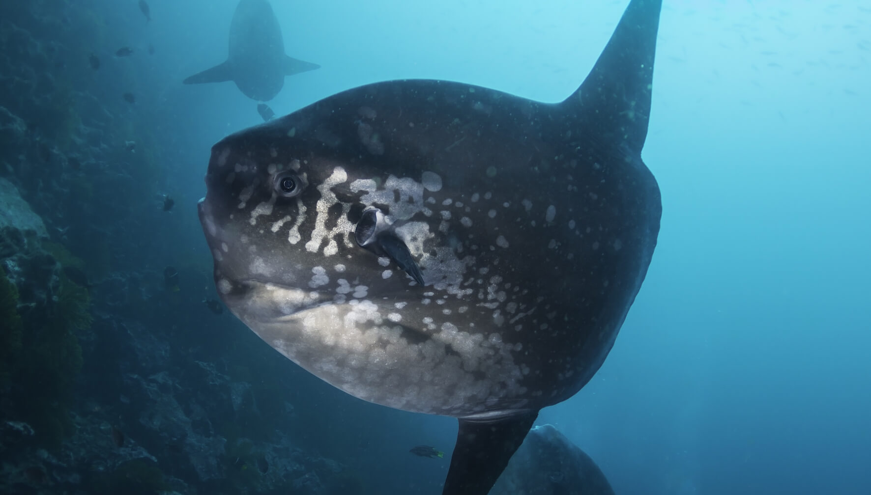 Scuba Travel, Mola Mola, Sunfish