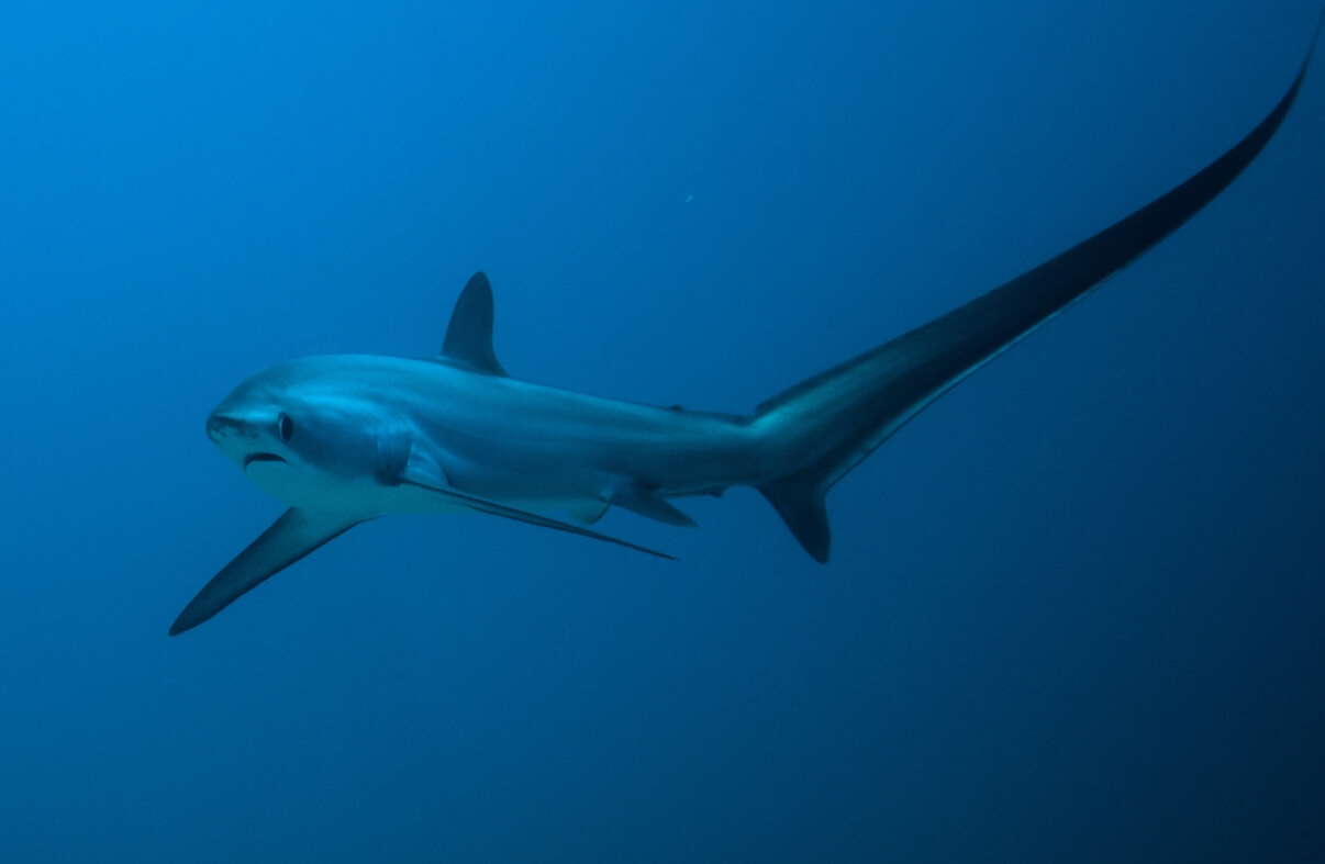 Scuba Travel, Thresher shark