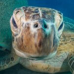 Scuba Travel, Turtle