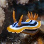 Scuba Travel, Red Sea, macro, Nudibranch, pyjama slug