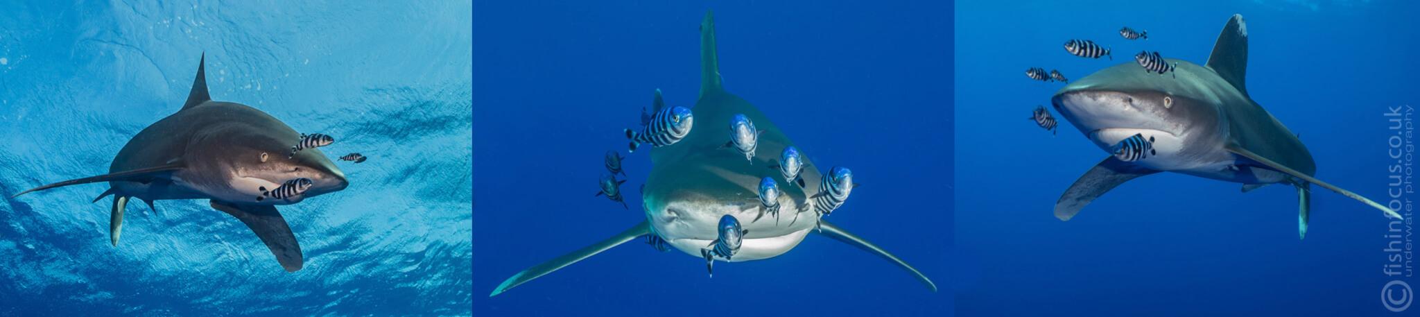 Oceanic whitetips, Hurricane, Scuba Travel, Shark Quest Photography, Mario Vitalini, fishinfocus