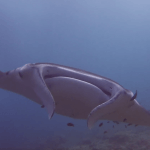 Scuba Travel, Maldives, manta