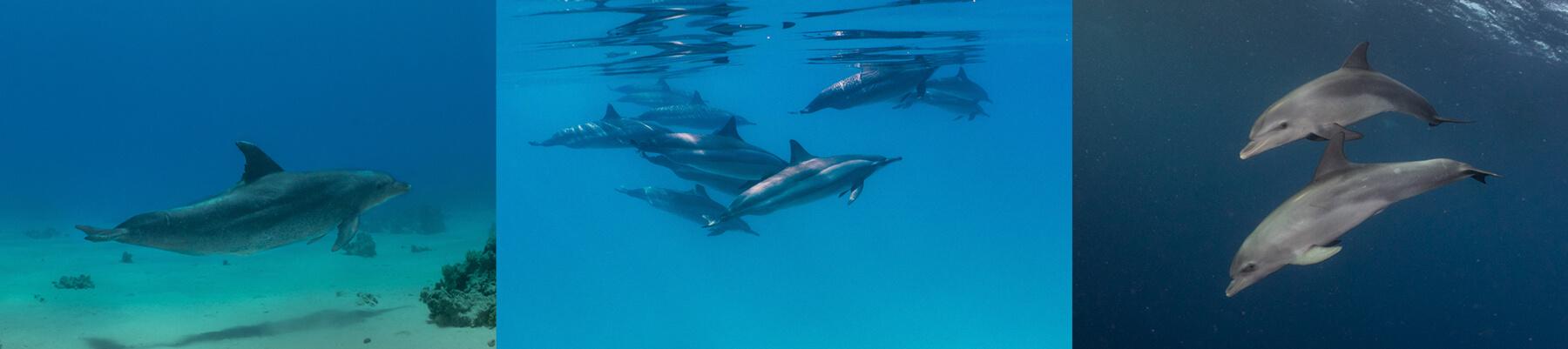 Scuba Travel, PhotoFINish, dolphin