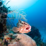 Scuba Travel, diving holidays, Caribbean, Grouper