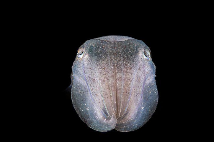 Scuba Travel, Philippines, Cuttlefish