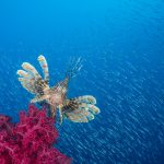 Scuba Travel, Red Sea, Egypt, Lionfish