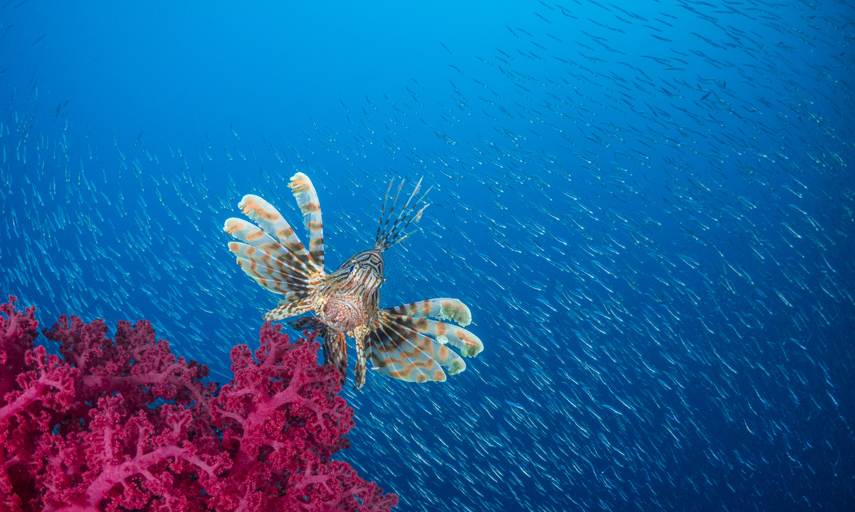 Scuba Travel, Red Sea, Egypt, Lionfish