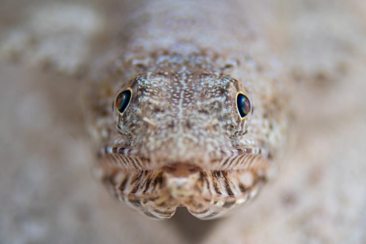 Scuba Travel, Red Sea, Egypt, lizardfish