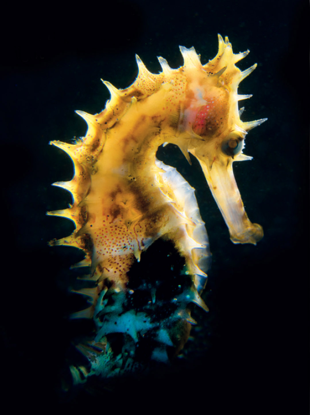 Scuba Travel, diving holidays, scuba diving, macro photography, seahorse, Indonesia