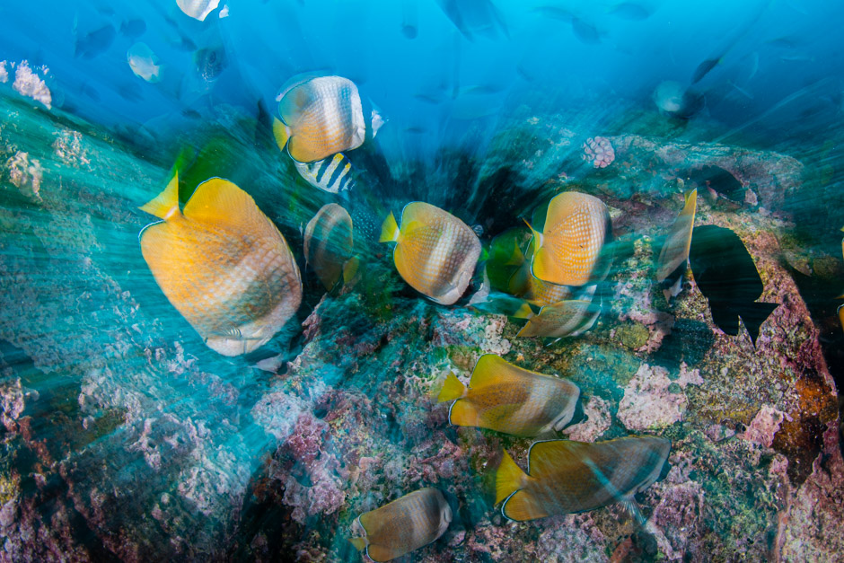 Scuba Travel, diving holidays, scuba diving, macro photography, butterfly fish, Philippines