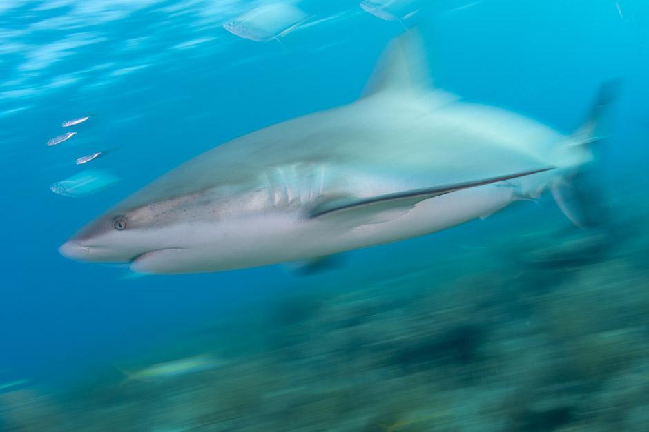 Scuba Travel, Caribbean, Cuba, Jardines de la Reina, diving holidays, Caribbean reef shark