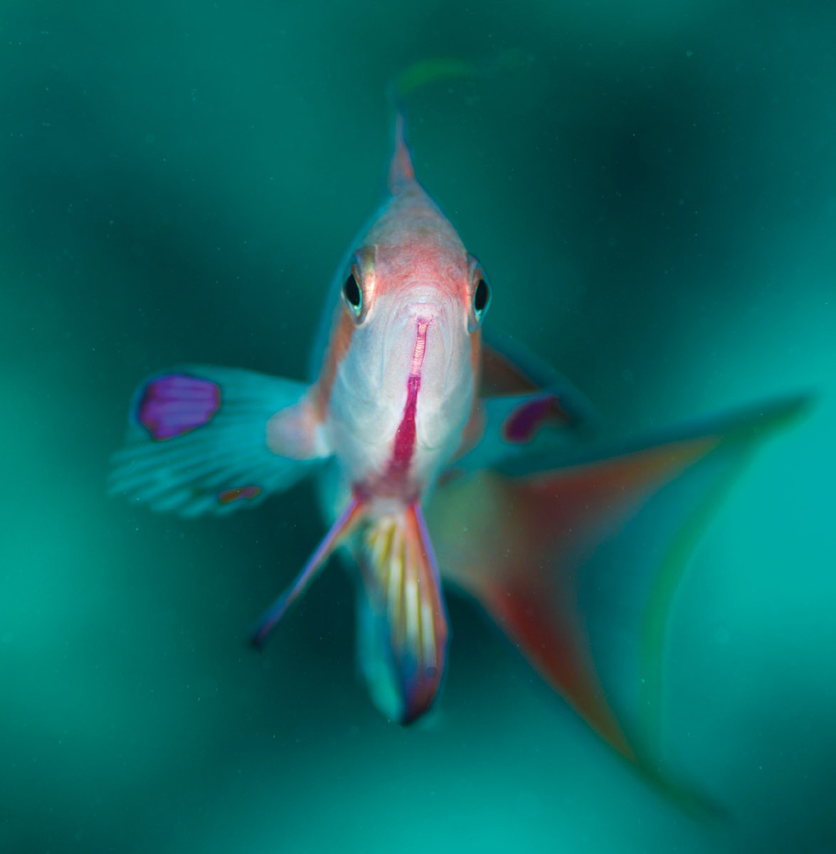 Scuba Travel, Red Sea, Egypt, live aboard, diving holidays, Anthias