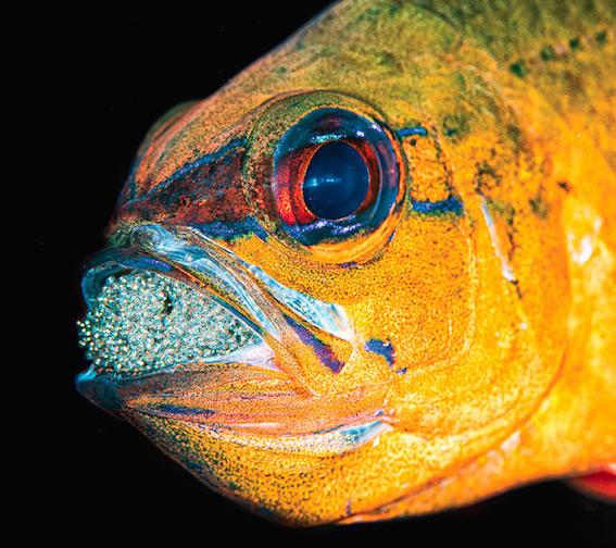 Scuba Travel, diving holidays, cardinal fish, INDONESIA