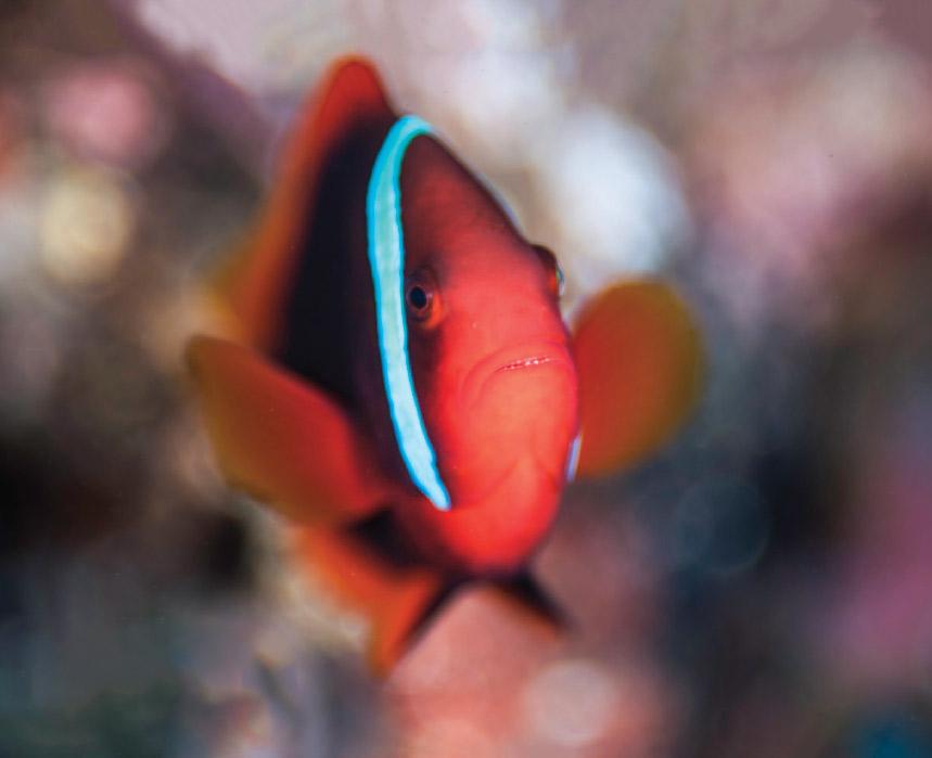 Scuba Travel, diving holidays, scuba diving, macro photography, clownfish