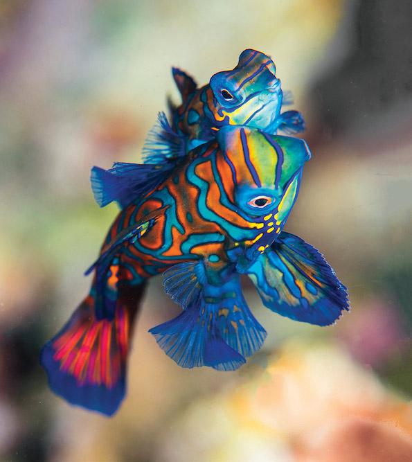 Scuba Travel, diving holidays, mandarin fish, Indonesia