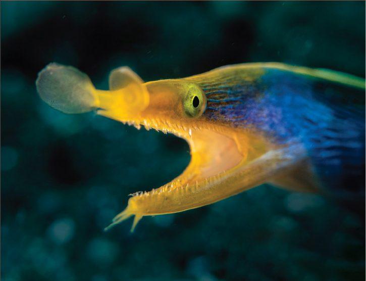 Scuba Travel, diving holidays, scuba diving, macro photography, Blue Ribbon eel, Indonesia