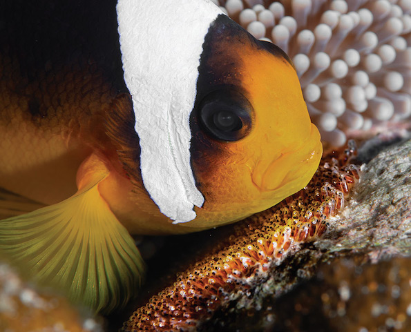Scuba Travel, diving holidays, clownfish, Red Sea