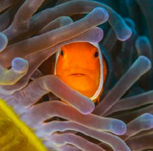 Scuba Travel, diving holidays, underwater photography, Indonesia, frogfish